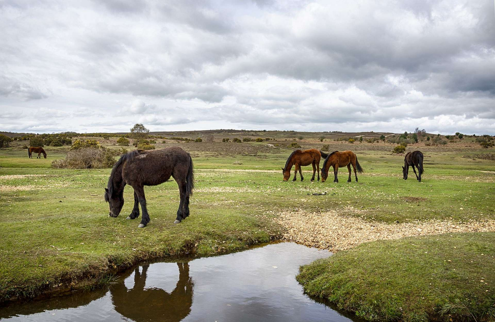 Wild ponies in the heath: New Forest National Park