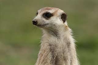 Suricate Madi-Madi Karoo Safari Lodge