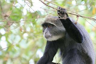 Blue Monkey im Arusha Nationalpark
