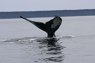 Humpback Whale in Tiverton