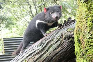 Im Tasmanian Devil Sanctuary in den Craddle Mountains