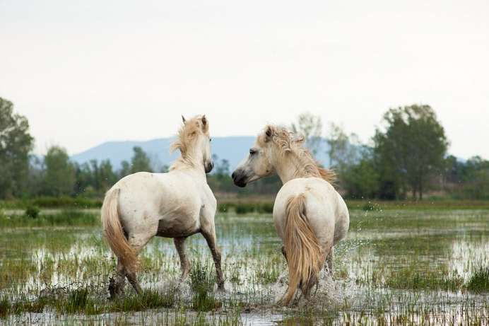 Wild horses: reserve on the estuary of the Isonzo