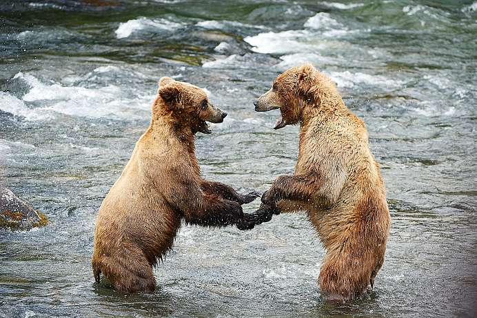 Seltene Begegnung: Im Grizzly Bear Sanctuary