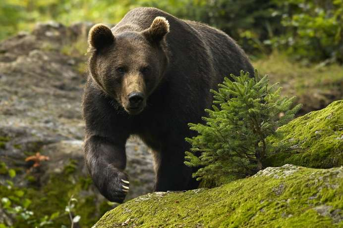 Seen again after 100 years: Brown bear in the national park