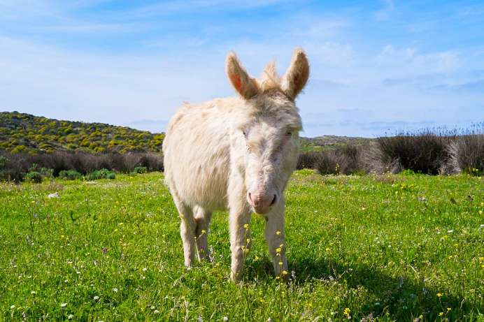 Protected species: A white donkey of Asinara