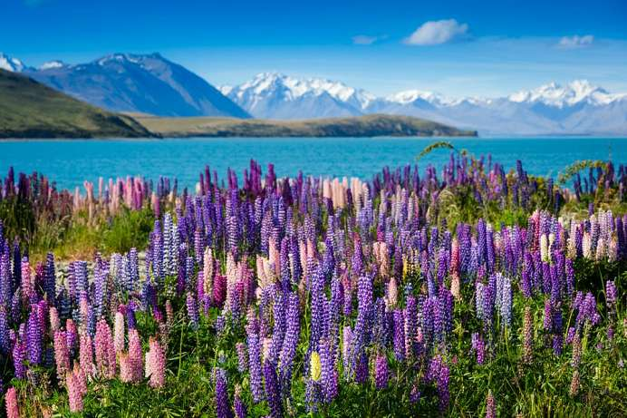 Orgie in Blau: Frühling am Lake Tekapo