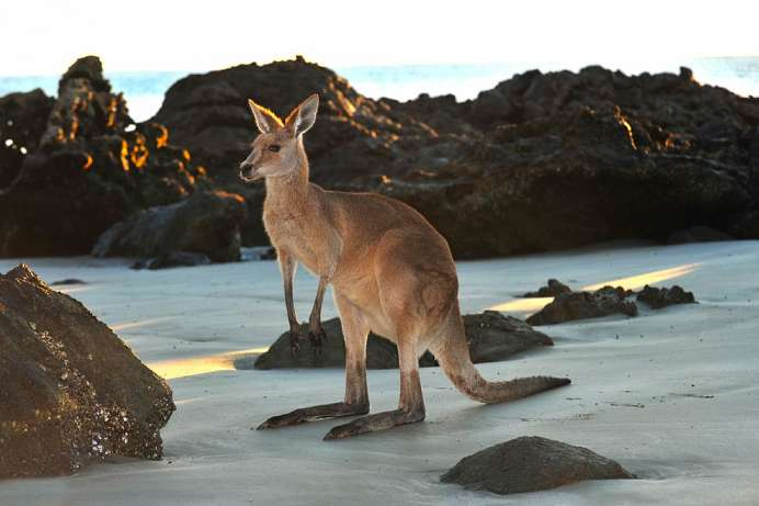 Kängurus und Wallabies: Cape Hillsborough National Park