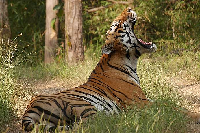 Heimat der Bengalischen Tiger: Pench National Park