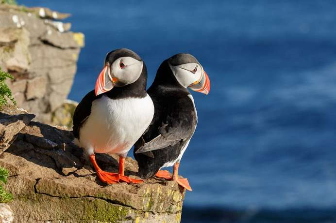 Attraktion der Puffin Boat Tour: Papageientaucher