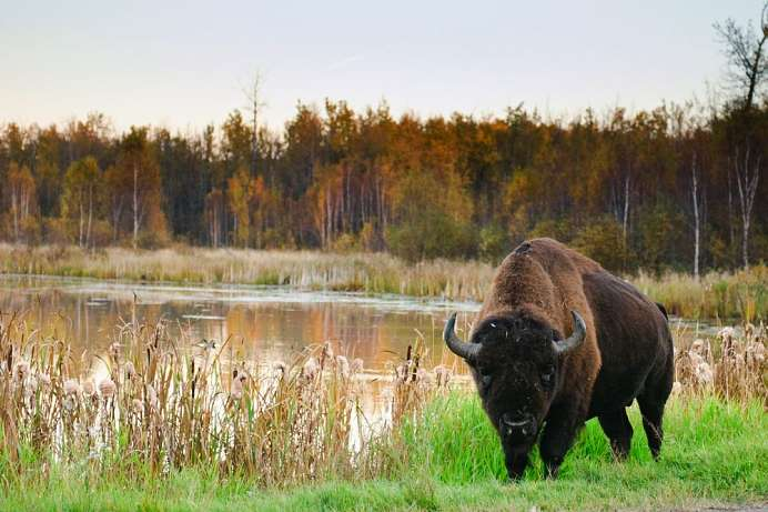 Hohe Wilddichte: Elk-Island-Nationalpark
