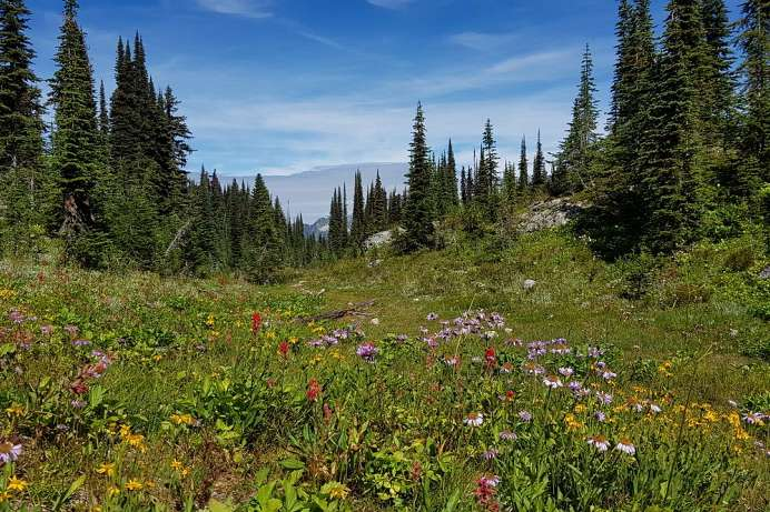 Wildblumen im Revelstoke National Park