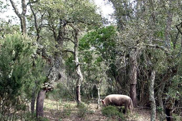Limbara: Cork trees and wild boar