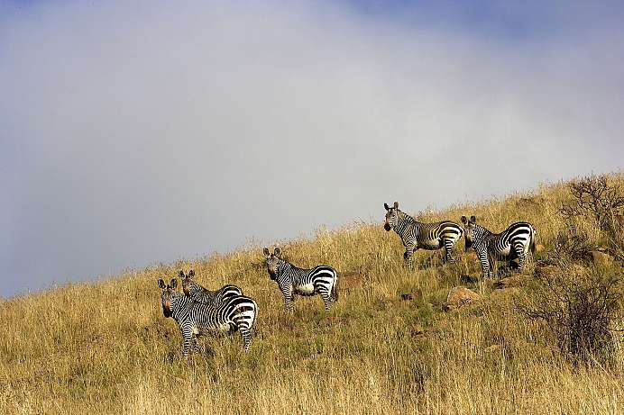 Seltene Bergzebras: Mountain Zebra National Park