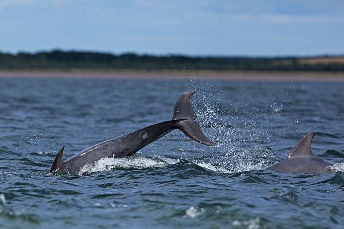 Off Cromarty: Bottlenose colony
