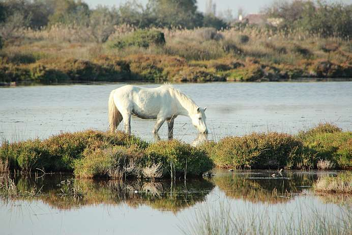 Rare sight: Wild white horses in the Camargue Delta