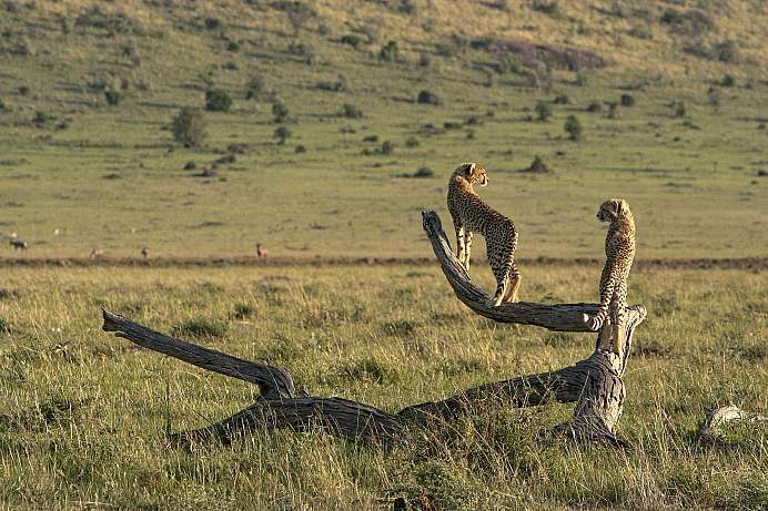Magisches Licht: Geparden in der Serengeti