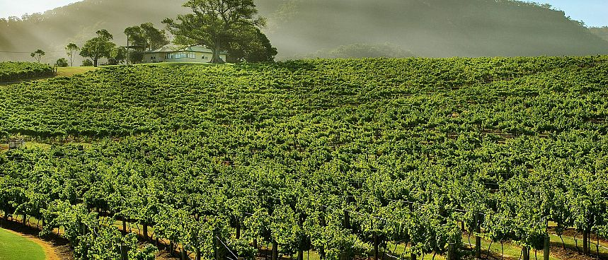 Vineyard in the morning: Champagne
