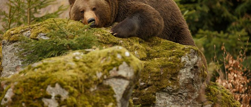 Brown bear in the mountains: Abruzzen