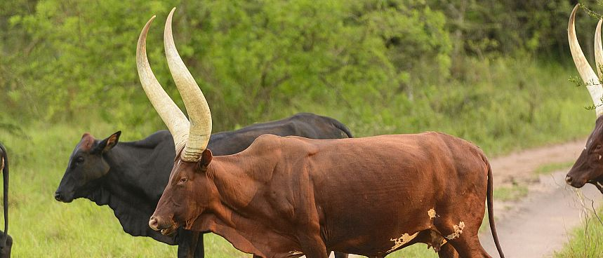 Lake Mburo National Park: Ankole-Rinder